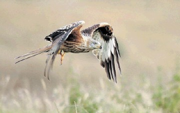 AT RISK:  It is feared    a windfarm   development near Dingwall could have a negative impact on red kites
