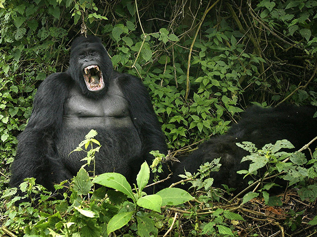 A silverback mountain gorilla in the Virunga National Park