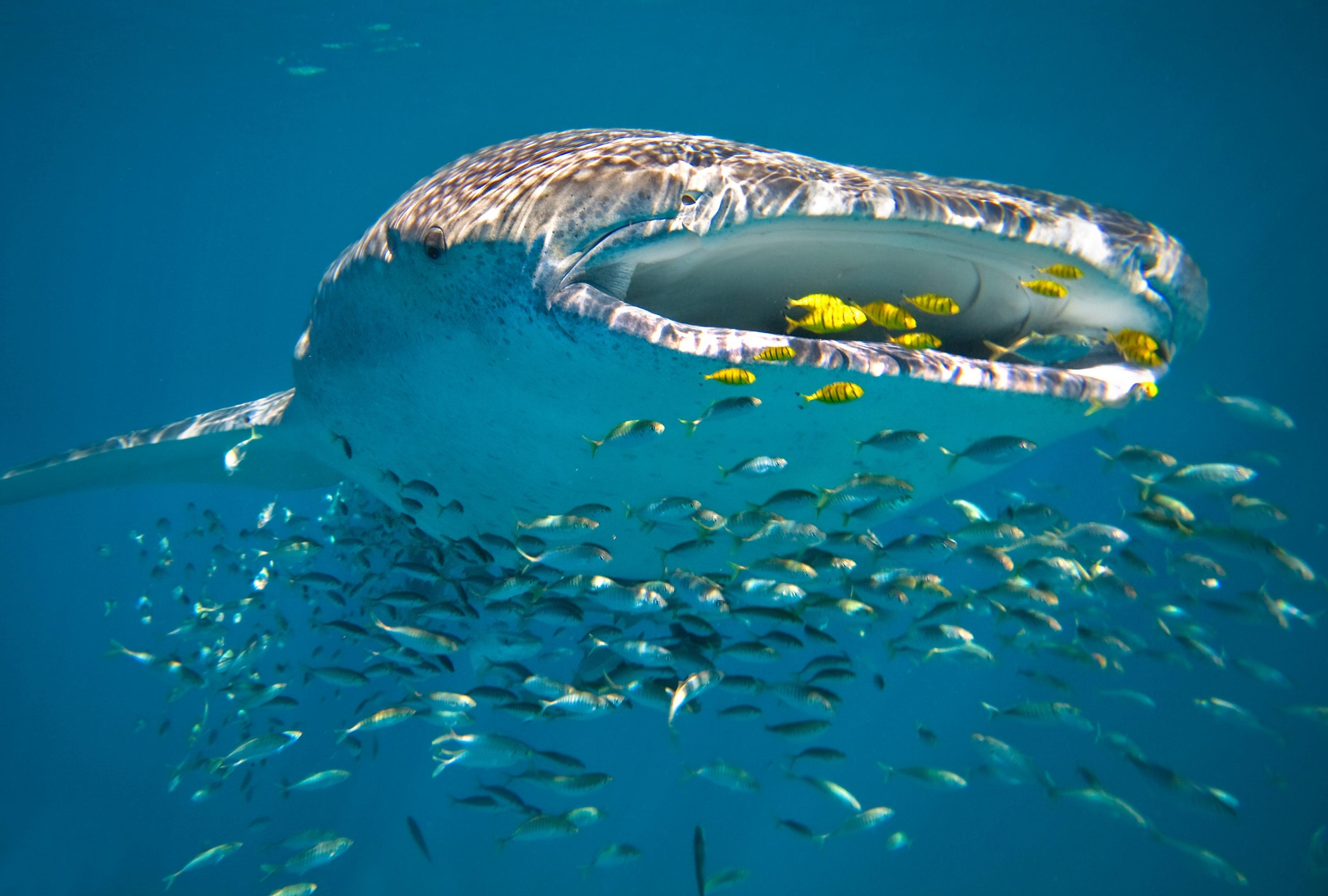 Al Shaheen oilfield is whale shark safe haven