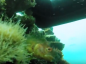 Video: See what lives beneath an abandoned oil rig