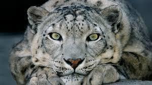 Snow Leopard basin