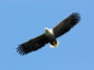 Mull Eagle Watch flies to new location.