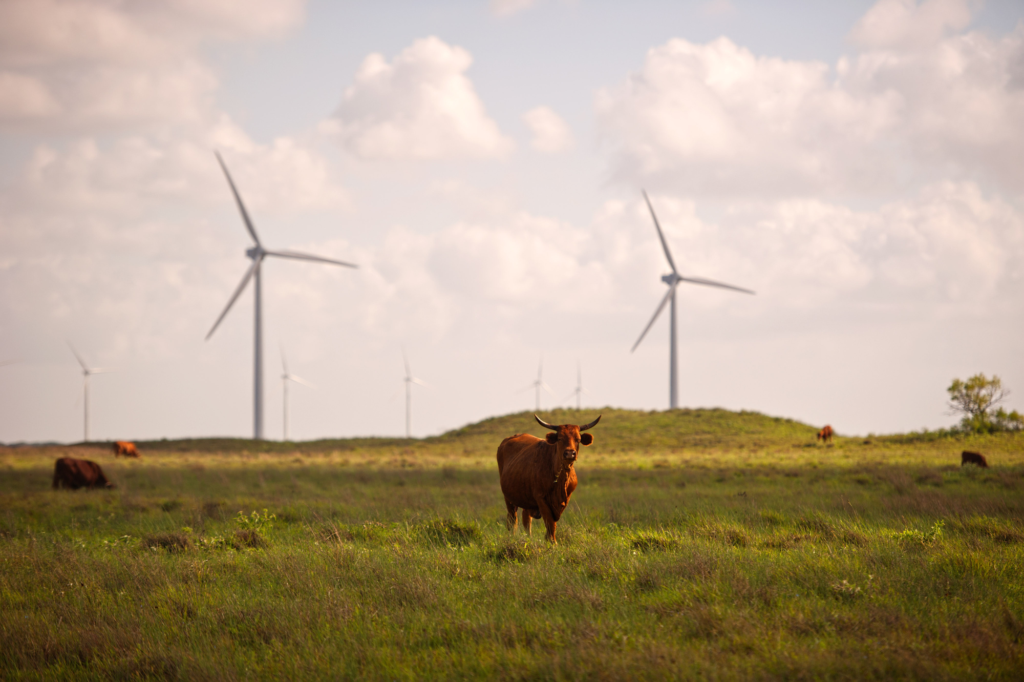 Cattle graze near wind turbines in Sarita, Texas. Photographer: Eddie Seal/Bloomberg