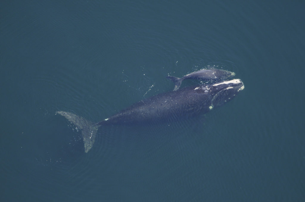 Windfarm to give whales right of way